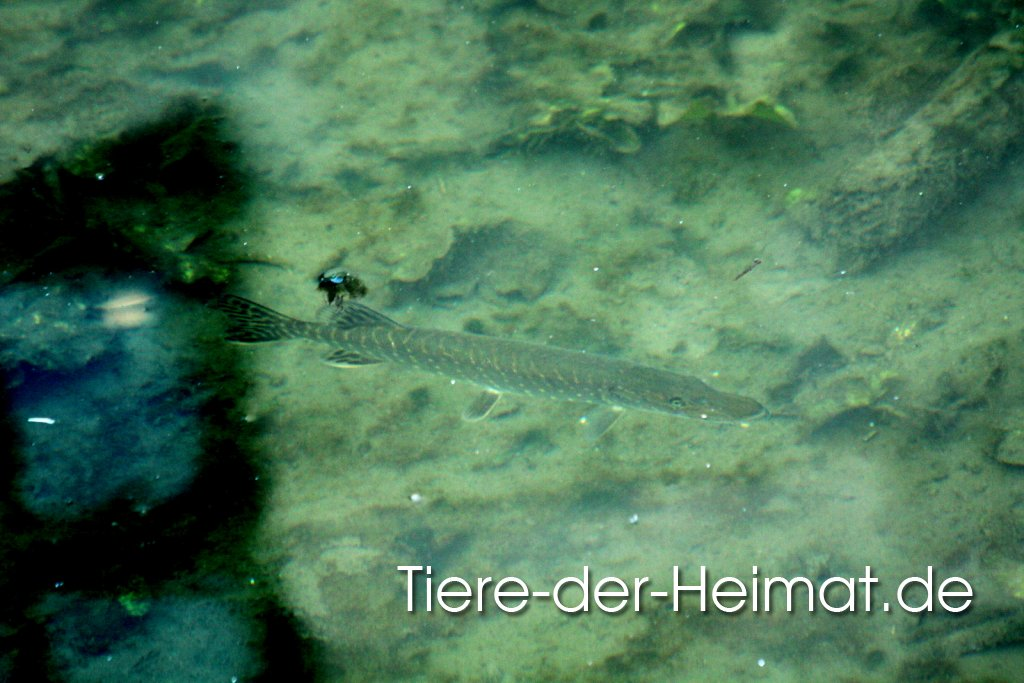 Hecht (Esox lucius)